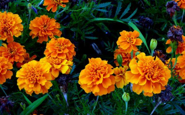 Flores de Cempasúchil. Día de Muertos